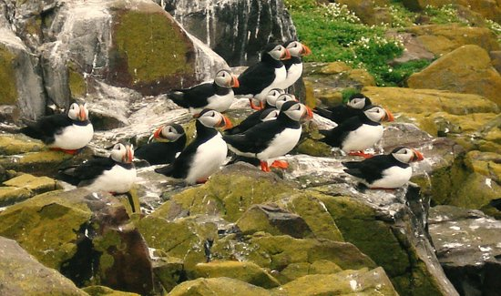 Northumberland, UK : Puffins