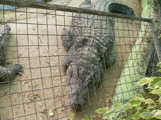 Crocodile Park: Paco the largest croc at the park