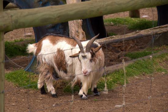 Colemans Farm Park: Georgie the little goat.
