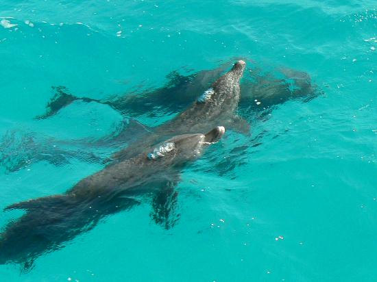 Fort Arabesque Resort, Spa & Villas: Visite surprise des dauphins sur le retour en bateau de l'île de Mahmya !! Superbe !!!