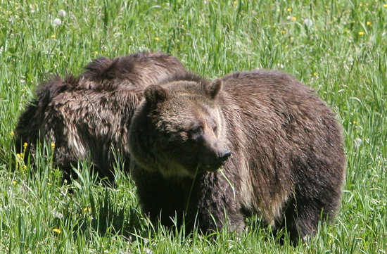 West Yellowstone, MT: Grizzly's at Quake Lake