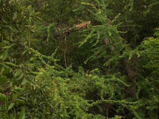 Casa Del Puente: Iguana in the tree