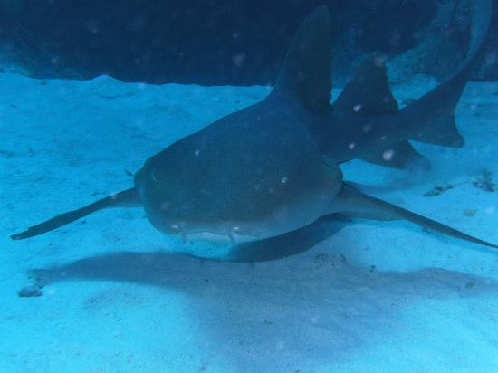 Little Cayman Beach Resort: Nurse Shark
