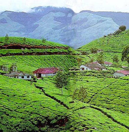 Munnar, Indie: The Tea Garden