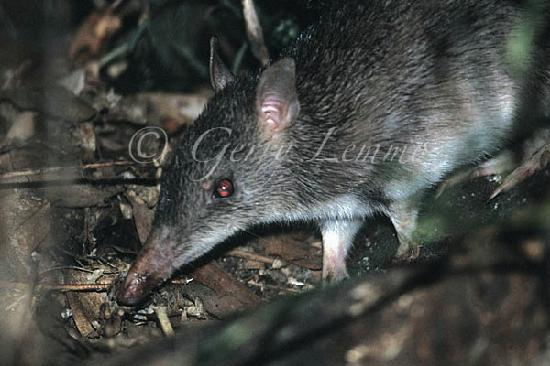 Chambers Wildlife Rainforest Lodges: Long-nosed bandicoot, where sugar gliders hang out.