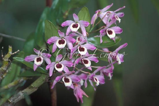 تشامبرز وايلد لايف رينفوريست لودجيز: Dendrobium orchid brightens the main lodge building.