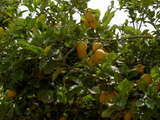 Iria Mare Hotel: de magnifiques citronniers !