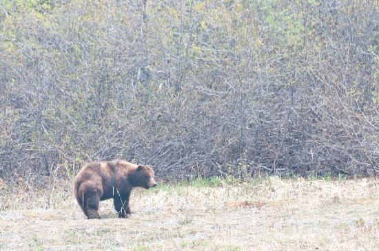 Glacier Bay Country Inn: Bear