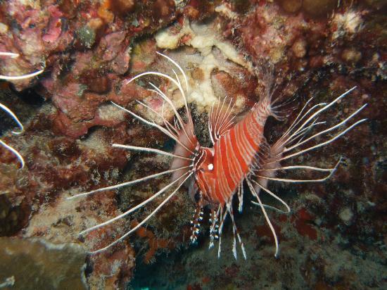 Gan Island: Lion Fish