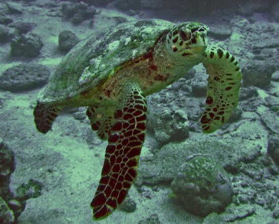 Gan Island : Turtle