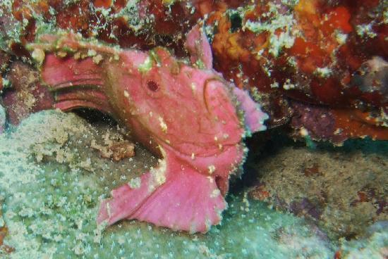 Gan Island : Pink Leaf Pish