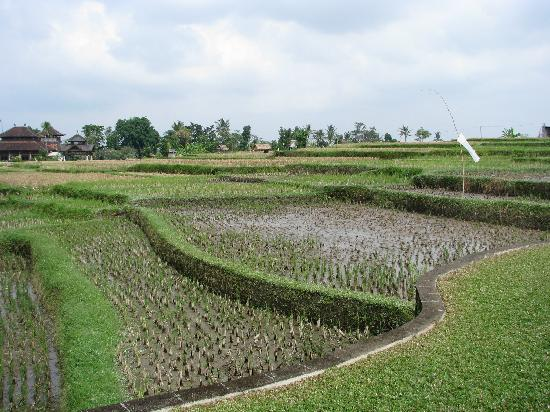 Viceroy Bali: Surrounding padi fields at the hotel