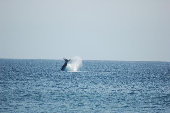 Holiday Inn Resort Los Cabos All-Inclusive: Whales as seen from the beach
