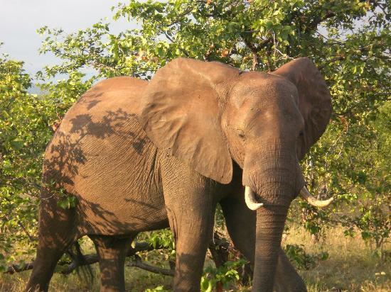 Spurwing Island: Awsome elephant
