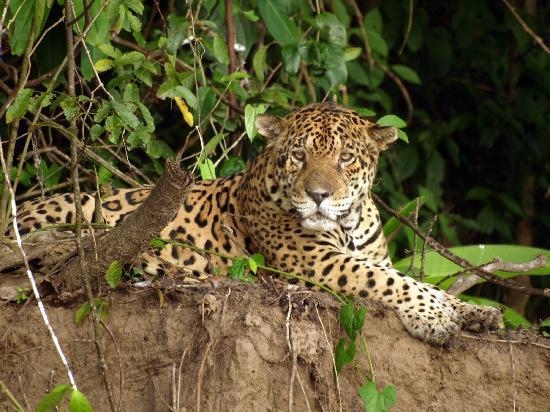Resultado de imagen para jaguar peru