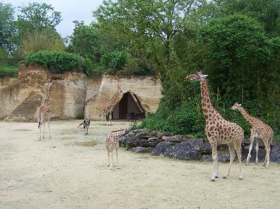 Doue-la-Fontaine, France: giraffe enclosure
