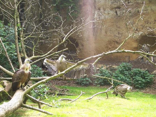 Doué-la-Fontaine, France : vultures