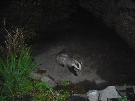 Glendruidh House : Local Badger