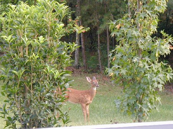 Coosawattee River Resort: we saw deer at the cabin almost every day