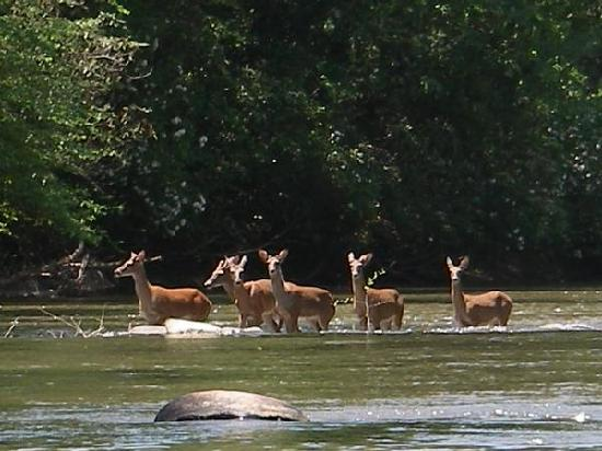 Coosawattee River Resort: The deer run free in this resort