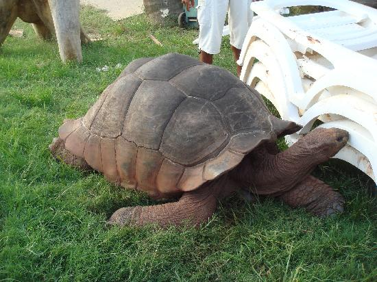Andilana Beach Resort: Tortoise