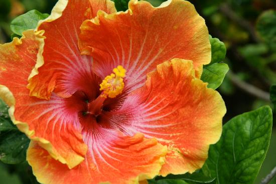 Kauhale Makai, Village by the Sea: Hibiscus on property