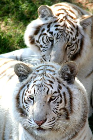 Оудсхорн, Южная Африка: White Bengal Tigers