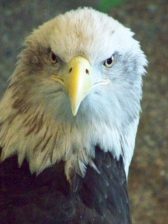 Wabasha, MN : Harriett (MN license plate eagle)