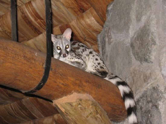 Ndutu Safari Lodge: A Genet cat in the Restaurant rafters