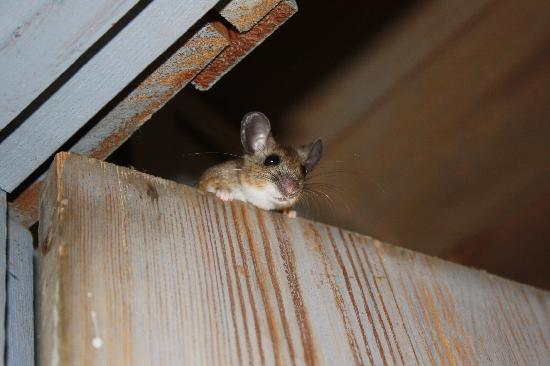 The Lodge at Mammoth Cave: mouse in Woodland Cottage - cute little bugger