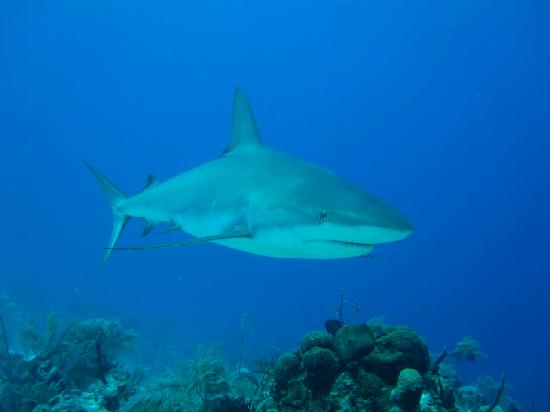 Coral Gardens On Grace Bay: My Pet Reef Shark Saying Hello To The Camera