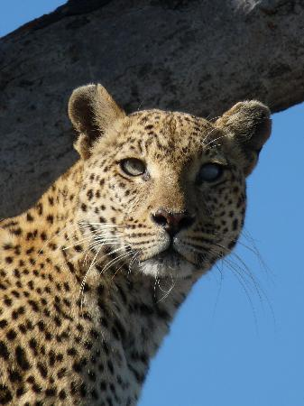 Moremi Game Reserve, Botswana: Our Beautiful Jao Leopard