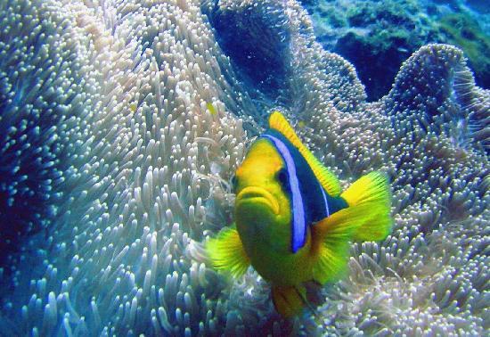 Savaii Lagoon Resort: Anemonefish
