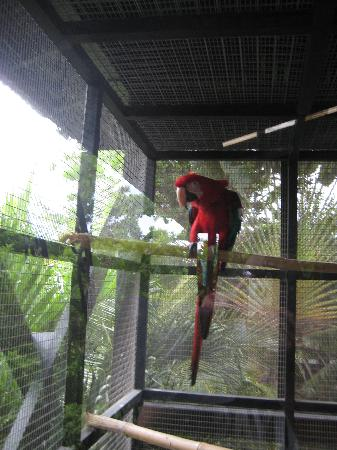 Barbados Wildlife Reserve: One of the resident parrots