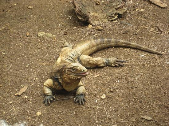 Barbados Wildlife Reserve: One of the Iguanas