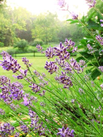 The Inn at Sugar Hollow Farm: Lavender in the herb garden
