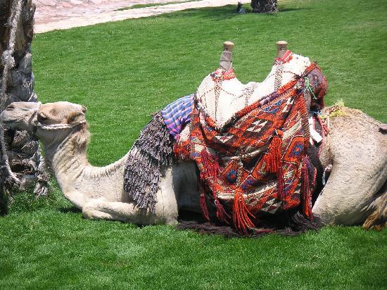 Resident Camel