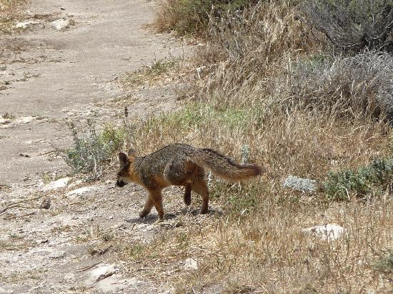 Santa Cruz Island, Kalifornia: Island Fox