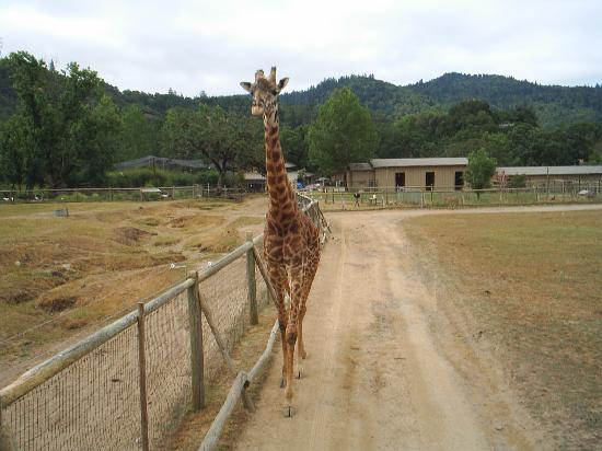 Safari West: Giraffe greeting tour truck
