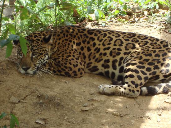 Anthony's Key Resort: Jaguar