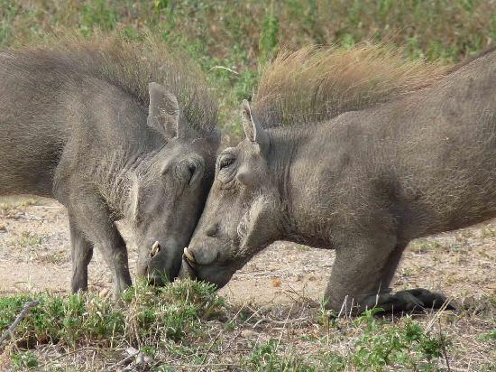 Pondoro Game Lodge: warthogs