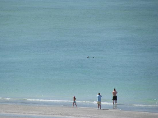Resort at Longboat Key Club: Dolphins......Photo from our balcony !