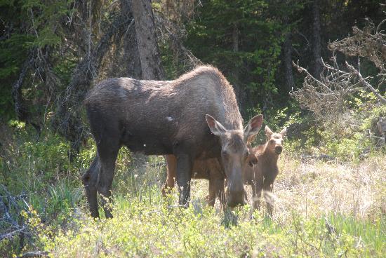 Alaska Lakefront Cabin: Moose Family