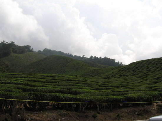 Cameron Highlands, Maleisië: tea plantation