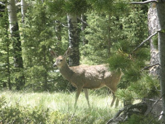 Divide, CO: Mule deer at Mueller