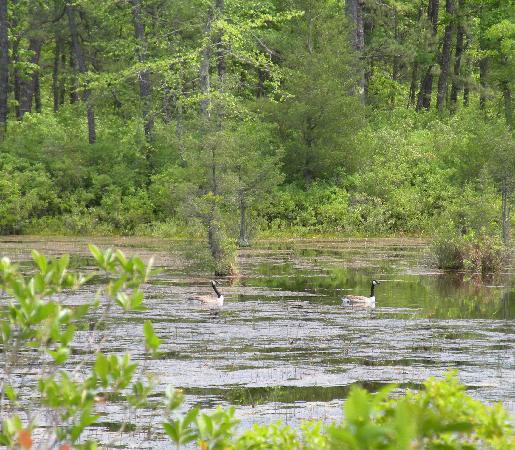 New Jersey: geese at Lake Absegami