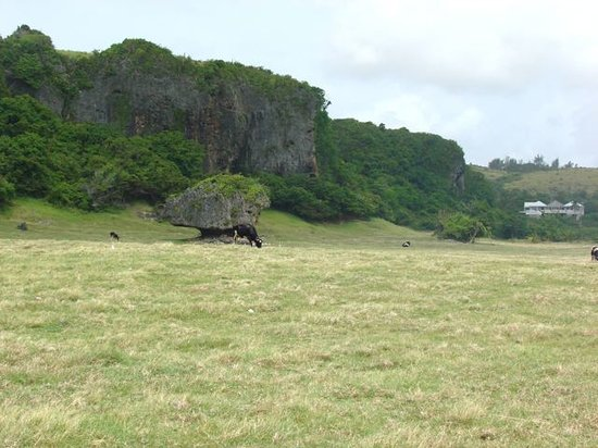 Island Safari Barbados: Heading across to another cove next to the Continental plate shift and a cow or several... north