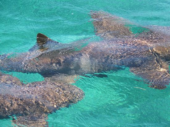 Las Terrazas Resort: Nurse Sharks at Hol Chan Marine Reserve