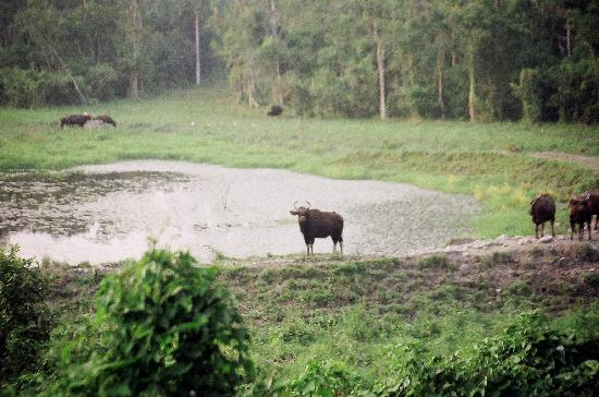 ‪‪Gorumara National Park‬, الهند: The Bison‬