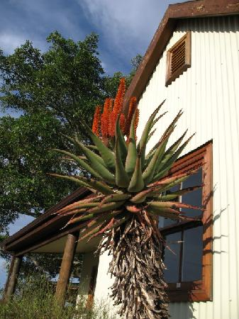 Camp Figtree: aloes everywhere